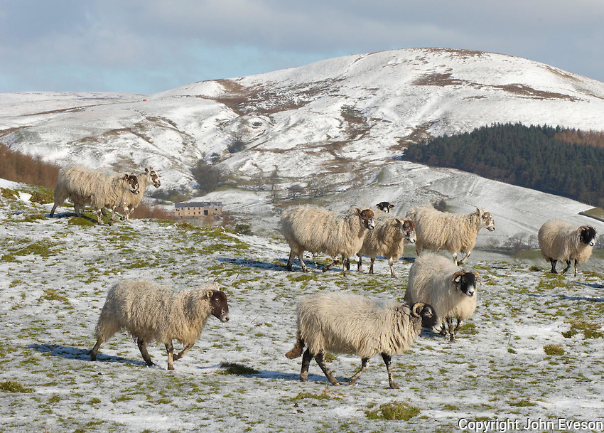 Swaledale and Mule ewes at Whitewell, Lancashire in snow that fell in the North West on Sunday night and Monday morning.