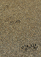 Tracks in the sand at <br /> Third Beach, Olympic National Park, Washington.