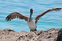 Pelican with wings wide spread on the rock near Key West, Fl