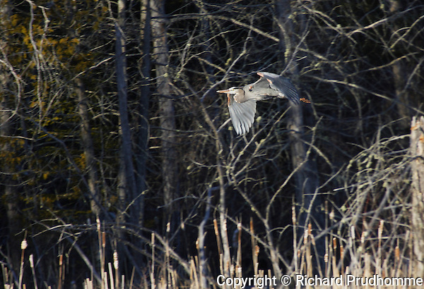 A Great Blue Heron in flight in it's natural habitat.