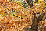 Japanese Maple in the Arnold Arboretum, Boston, MA