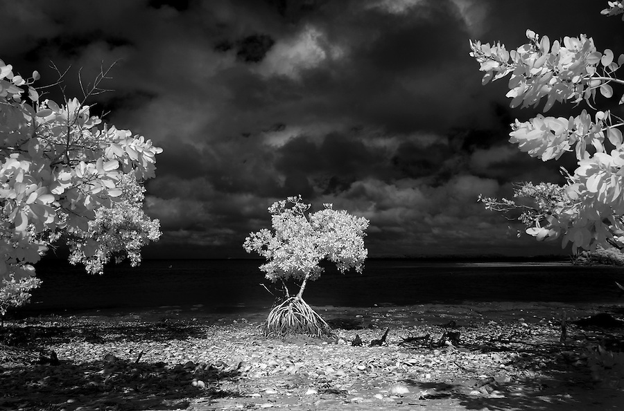 Mangrove trees photographed in infrared frame a smaller tree on New Turkey Key in the Florida Everglades and the ten thousand islands near Chokoloskee in Collier County, Florida. Photo/Andrew Shurtleff