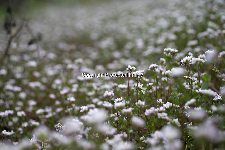 18/04/16<br /> <br /> Scurvy grass growing alongside the A50 near Sudbury, Derbyshire.<br /> <br /> If you've driven anywhere in the UK this week you might have noticed a carpet of white flowers flourishing in the verges of highways and motorways.<br /> <br /> Full Story here: <br /> <br /> http://www.fstoppress.com/articles/fsp_danish_scurvy_grass/<br /> <br /> .It's called Danish scurvy grass, or Cochlearia groenlandica to give it its Latin name, and for years it only grew in coastal areas as it needs salty conditions to survive.<br /> <br /> But now, thanks to councils gritting and salting our roads over the winter months, this hardy plant has taken hold in the heart of Derbyshire – possibly as far inland as you can get in the UK.<br /> <br /> In fact, according to the latest research by national wild flower charity Plantlife, it's the fastest spreading plant in the country.<br /> <br /> All Rights Reserved: F Stop Press Ltd. +44(0)1335 418365   +44 (0)7765 242650 www.fstoppress.com