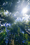 Artistic image of tall Douglas fir forest tree tops over blue sky with a bright sun glare coming throgh the branches. Vancouver Island, British Columbia, Canada.