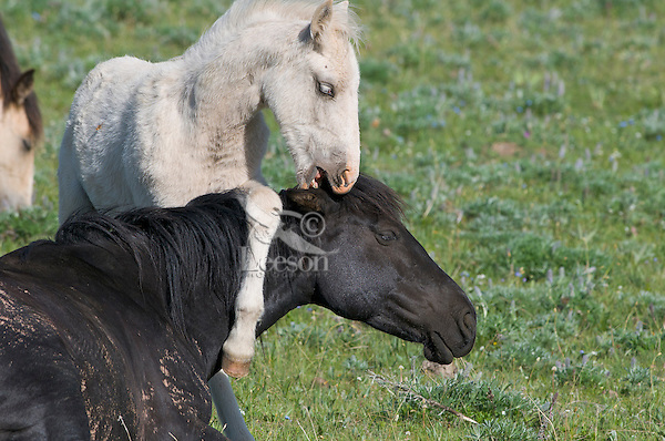 Wild Horse or feral horse (Equus ferus caballus) colt playing with mom.  Western U.S., summer.