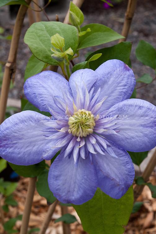 Clematis Vanso Blue Light, semi-double flowered blue blooming perennial climbing vine