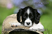 Bob, ANIMALS, REALISTISCHE TIERE, ANIMALES REALISTICOS, dogs, photos+++++,GBLA4329,#a#, EVERYDAY