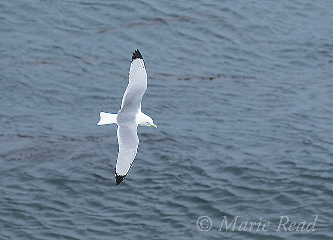 Black-legged Kittiwake (Rissa tridactyla) in flight, St. Paul Island, Pribilofs, Alaska, USA