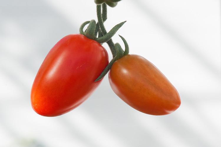 Tomato 'Scarlet Fizz', glasshouse, late September. A cherry plum variety.