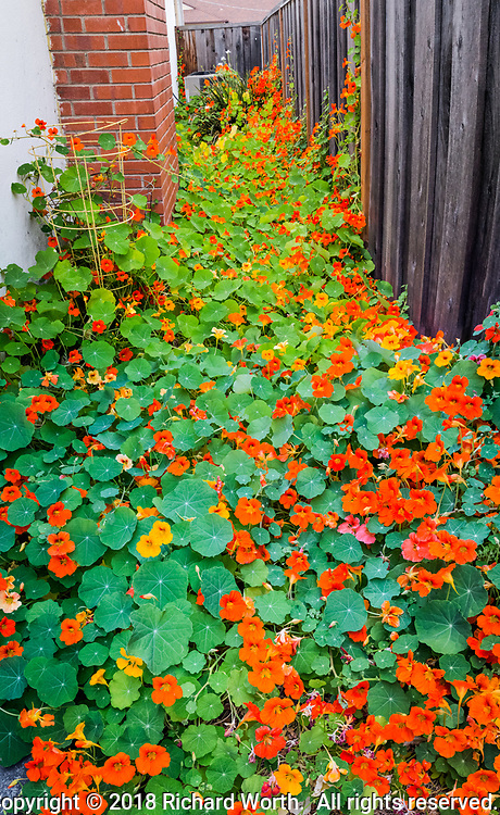 Nastursium flowers of brilliant orange with a few yellow hightlights, surrounded by bright green leaves, engulf a sideyard.  A vertical panoramic from six images.