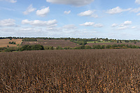 12.9.2020 Beans ready for harvest <br /> ©Tim Scrivener Photographer 07850 303986<br />      ....Covering Agriculture In The UK.