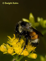 BU06-508z  Bumblebee worker collecting pollen and nectar, Red -tailed Bumblebee, Bombus ternarius