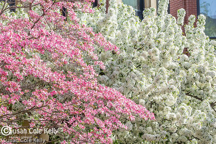Dogwoods in the Back Bay neighborhood, Boston, Massachusetts, USA