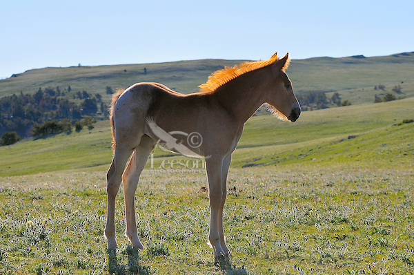 Wild Horse or mustang (Equus ferus caballus) colt.  Western U.S., summer.