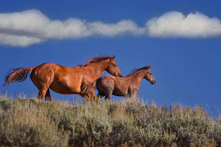 Quarterhorse mare galloping to catch up to her foal along a ridge, Wyoming.
