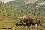 Bull moose shedding velvet. Roosevelt National Forest, Colorado.