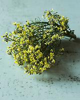 Gastronomie: Fleurs de brocoli de  Joël Thiébault,  maraicher // Gastronomy:  broccoli flower, Joel Thiebault,  market gardener - Stylisme : Valérie LHOMME