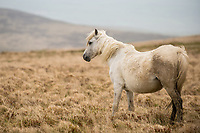 Sunday  30 April 2017 Pictured: A Wild Horse on the Preseli Mountains, Pembrokeshire