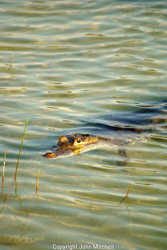 Wild crocodile lurking in Lake Coba, Coba, Quintana Roo, Mexico. American Crocodile or Crocodylus acutus)