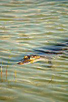 Wild crocodile lurking in Lake Coba, Coba, Quintana Roo, Mexico. American Crocodile or Crocodylus acutus)