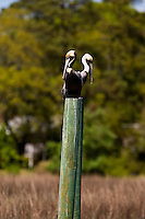 Two pelicans sit along an inlet in Charleston, SC.