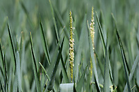 26.5.2020 Black-grass<br /> ©Tim Scrivener Photographer 07850 303986<br />      ....Covering Agriculture In The UK....