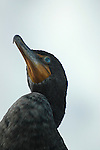 Cormorant Looking up