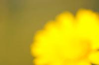 Corn Marigold (Chrysanthemum segetum)<br /> Sardinia, Italy