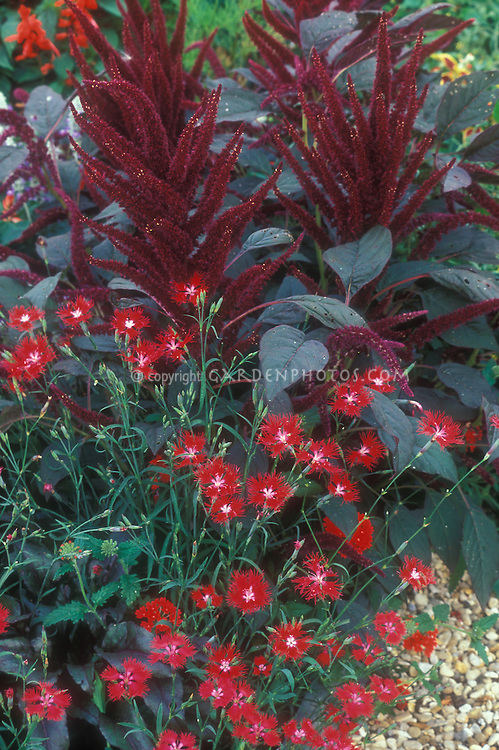 Dianthus superbus 'Crimsonia'  red flowered perennial with annual Amaranthus 'Hopi Dye Red', single flowered scarlet red, red color theme planting combinations