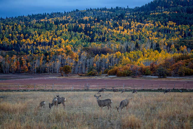 Fall colors have arrived to Kolob Terrace adjacent to Zion National Park, Utah