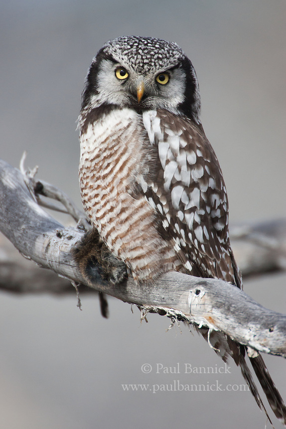 A Northern Hawk Owl perches with prey it has just captured.