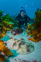 woman scuba diver and southern fiddler ray, Trygonorrhina fasciata, endemic, Montague Island, Narooma, New South Wales, Australia, South Pacific Ocean, MR
