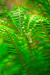 closeup shallow focus detail of brilliant green sword fern fronds lit from above
