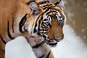 India, Rajasthan, Ranthambhore National Park, 18 months old Bengal tiger cub