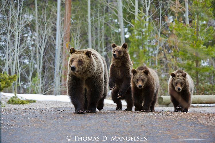 Grizzly 610 walks down a park road with her three cubs in springtime in Grand Teton National Park, Wyoming.
