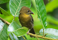 Female Red-throated Ant-Tanager, Habia fuscicauda, perched on a branch in Sarapiquí, Costa Rica