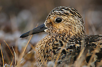 Adult Sanderling (Calidris alba) in breeding (alternate) plumage incubating. Bathurst Island, Nunavut, Canada. June.