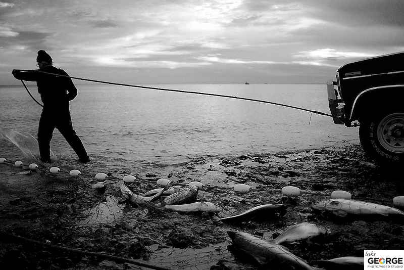 A fisherman trudges into the bay attaching a come along to the lead line of his salmon-filled gill net.  The come along is used about every 10 feet along the nearly 300-foot-long net.