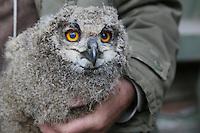 Klaus Hillerich von der Vogelwarte Helgoland wiegt, vermisst und beringt die jungen Uhus am Abfallzentrum Büttelborn