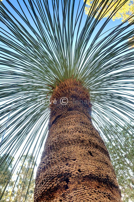 Domaine du Rayol en novembre : dans le jardin australien, blackboy (Xanthorrhoea)