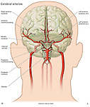 This illustration shows the anatomy of the cerebral vasculature, with labels for the following arteries:  anterior cerebral, anterior communicating,  middle cerebral, internal carotid, posterior communicating, and basilar.