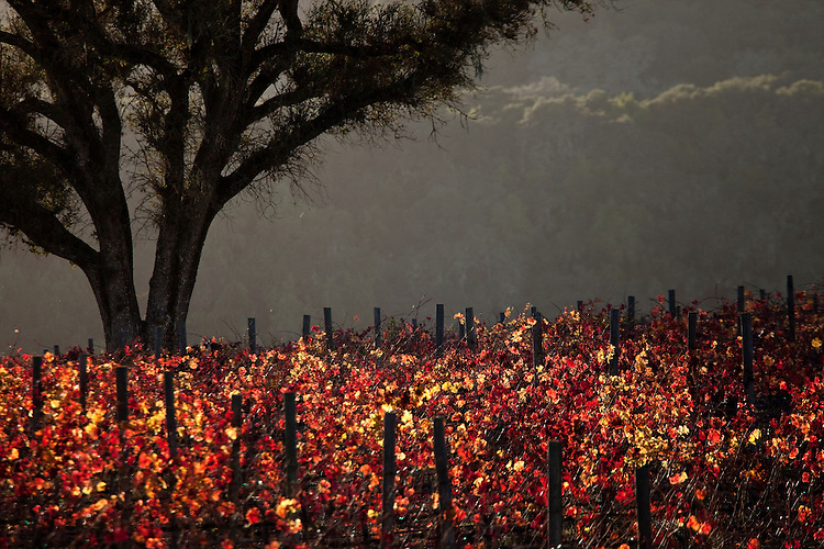 Vineyard at sunset in California's coastal range
