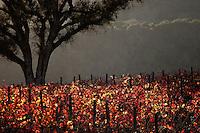 Vineyard at sunset in California's coastal range