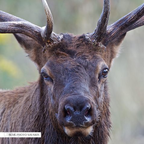 Bull elk portait