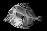 X-ray image of a yellow tang fish with meal (white on black) by Jim Wehtje, specialist in x-ray art and design images.