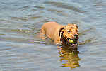 Mixed breed dog in Eagles Mere Lake with tennis ball.