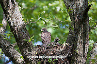 00794-00603 Red-shouldered Hawks (Buteo lineatus) nestlings at nest, Marion Co., IL