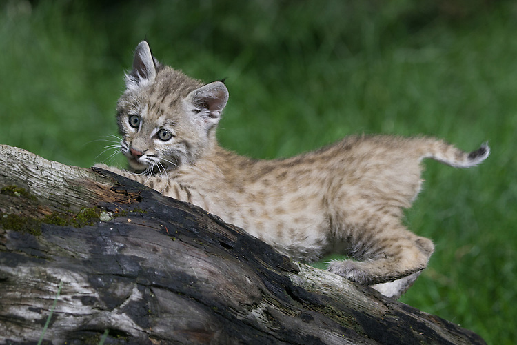 Young Bobcat lying on an old log - CA
