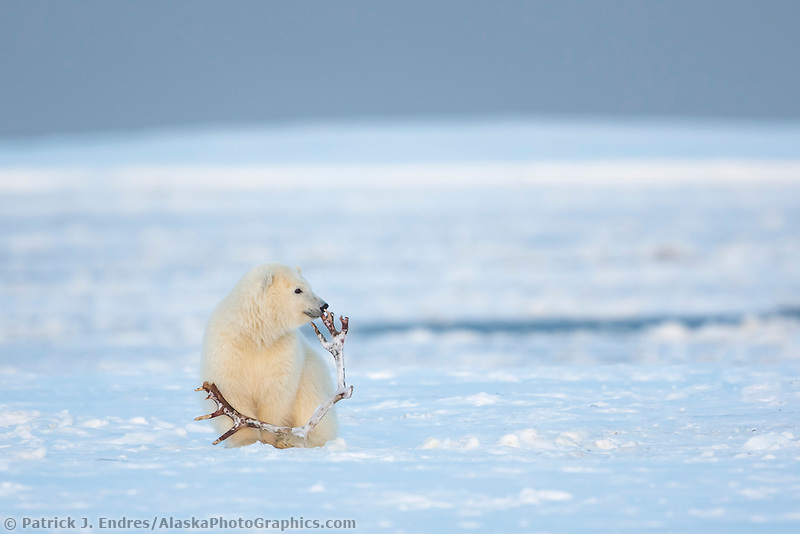 Plays with a caribou antler, Barter, Island, Arctic National Wildlife Refuge, Alaska.