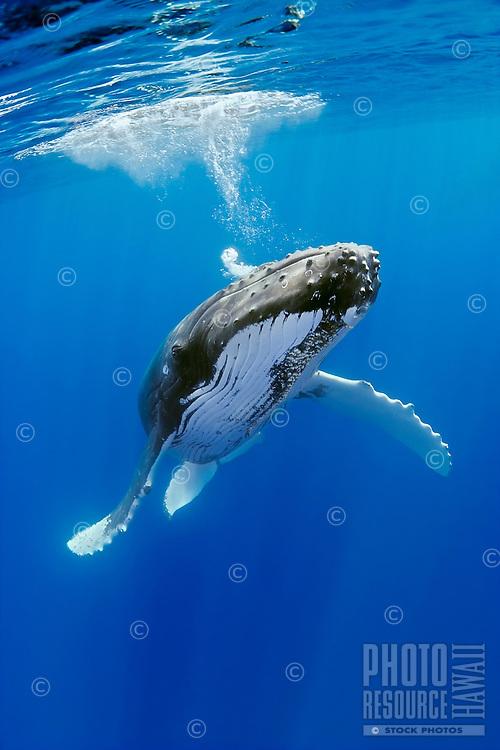 A humpback whale, Megaptera novaeangliae, blowing underwater, Hawai'i.